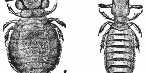 ENFERMEDADES QUE CAUSAN LOS PIOJOS » Especies más peligrosas